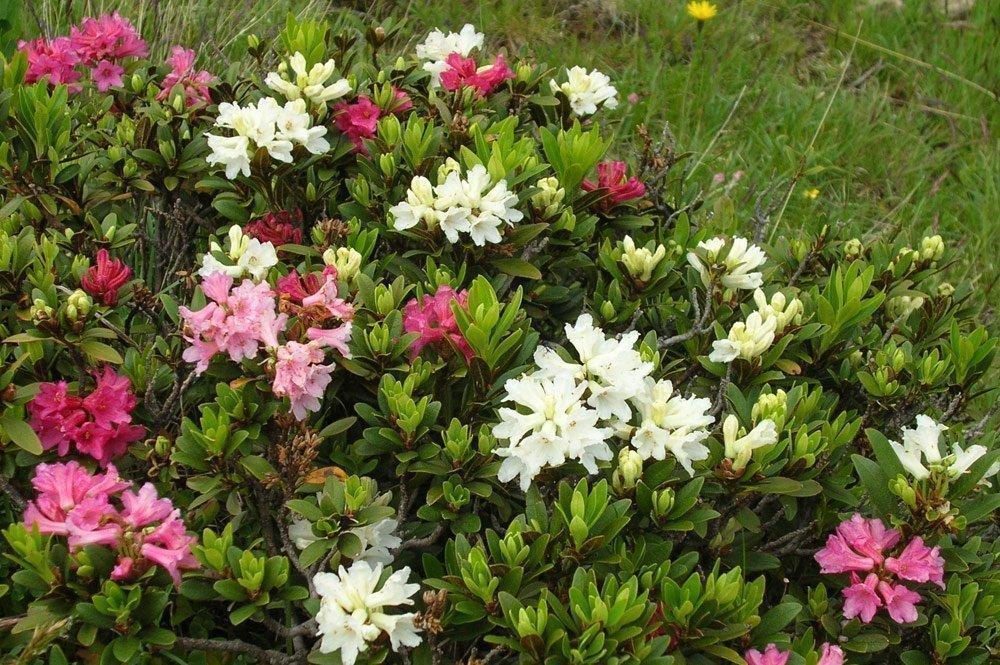 alpenrosen von weiss bis rot Rododendri e marmotte