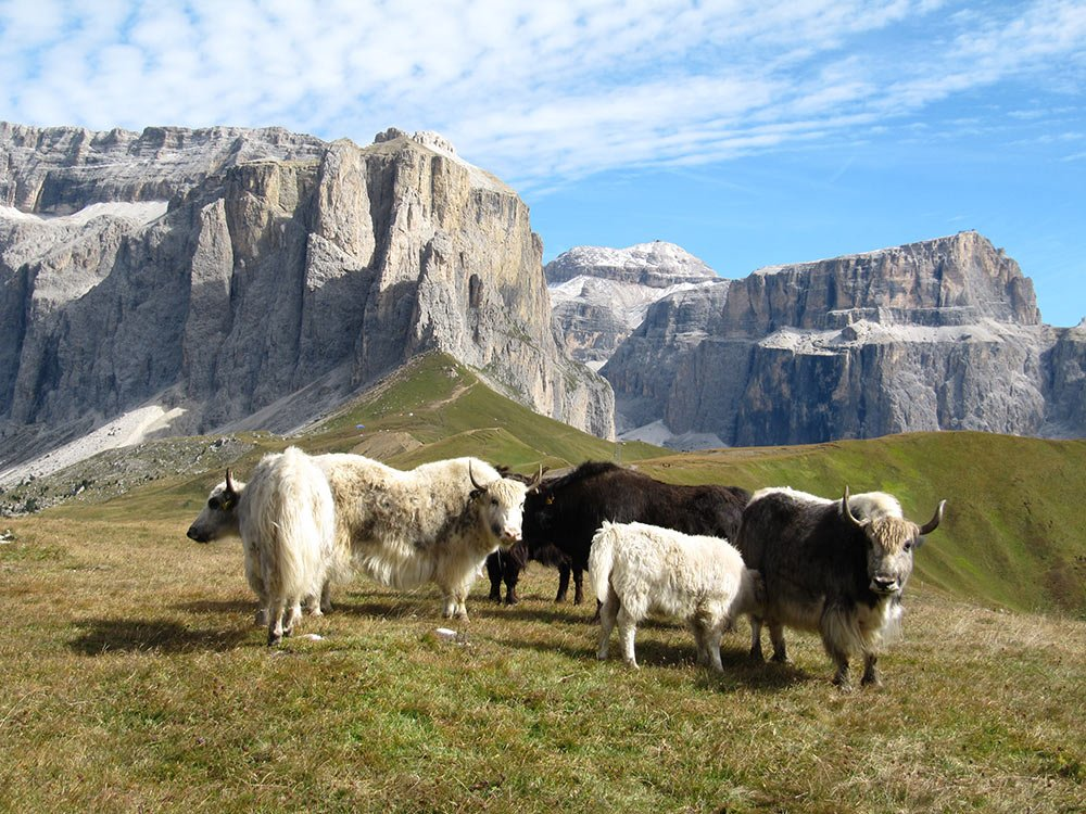 yaks am sellajoch1 Intorno al Sassopiatto