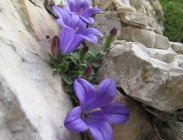 thumbs morettis glockenblume ein endemit Flower Hikes