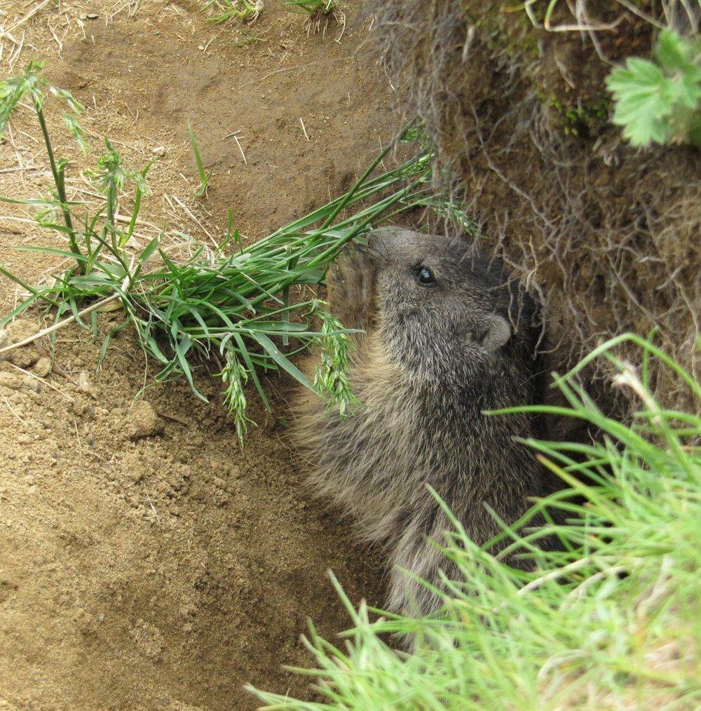 thumbs murmeltier beim gras fressen Alpine roses and marmots
