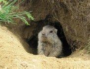 thumbs junges murmeltier vor seinem bau Rododendri e marmotte