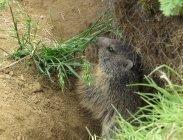 thumbs murmeltier beim gras fressen Rododendri e marmotte