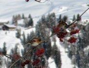 thumbs bergfinken finden futter Unsere heimischen Wildtiere im Winter