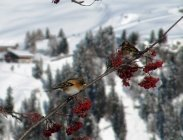 thumbs bergfinken finden futter La nostra fauna in inverno